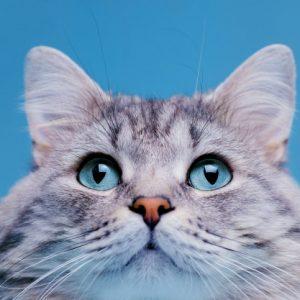 5 Jenis Kucing Kaki Pendek Berikut Ini Super Menggemaskan Loh Kips, Kamu Harus Tau!